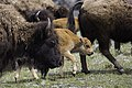 Moving with the herd, Lamar Valley (70bd937c-eb21-4da0-8d26-d807bf09de77).jpg