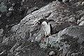 Muddy Gentoo Penguin (24707899685).jpg