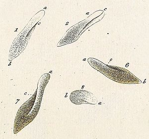 Paramecium - Paramecia, illustrated by Otto Müller, 1773