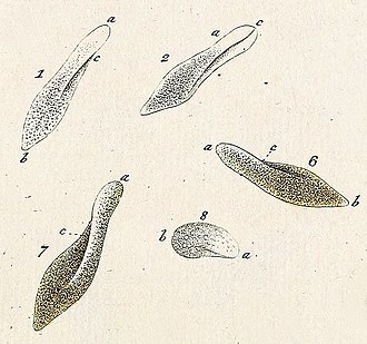 Paramecium - Paramecia, illustrated by Otto Müller, 1773