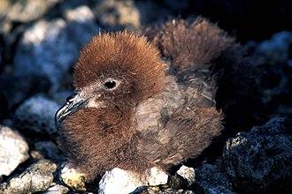 Ducie Island - Image: Murphy's petrel, Ducie island