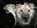 Musée dhistoire naturelle - Cape Lions.jpg