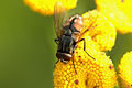 Musca.autumnalis.male.jpg