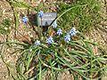 Muscari chalusicum - Flickr - peganum (1).jpg