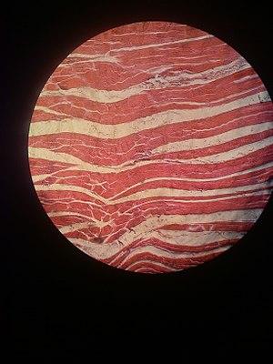 Muscle tissue 00.jpg