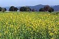 Mustard farming in Himachal Pradesh.jpg