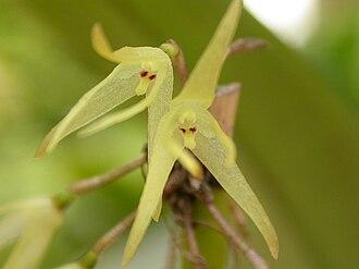 Myoxanthus exasperatus - Image: Myoxanthus exasperatus