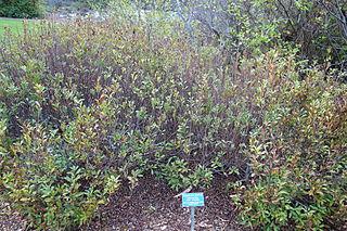<i>Myrica hartwegii</i> species of shrub in the bayberry family