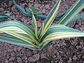 Mystery variegated plant (15235786430).jpg