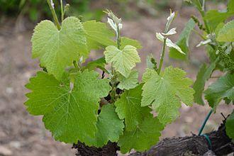 Négrette - Image: Négrette leaves