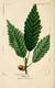 NAS-010 Quercus muehlenbergii.png