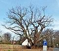 ND-H 225 Maercheneiche am Tiergarten.JPG