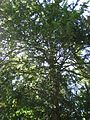 ND 611.070, Eibe, 3, Wolfsanger-Hasenhecke, Kassel.jpg