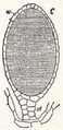 NSRW Antheridium of Liverwort.png