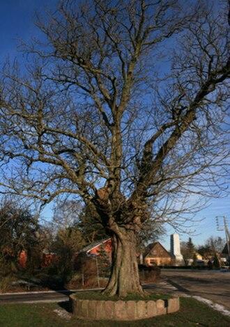 Nagelsti - Nagelsti village tree