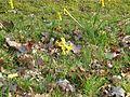 Narcissus cyclamineus x pseudonarcissus - Flickr - peganum.jpg