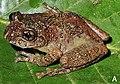 Nasutixalus jerdonii (adult male).jpg