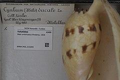 240px naturalis biodiversity center   rmnh.mol.210265   melo umbilicatus broderip, 1826   volutidae   mollusc shell
