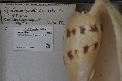 500px naturalis biodiversity center   rmnh.mol.210265   melo umbilicatus broderip, 1826   volutidae   mollusc shell