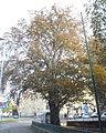 Naturdenkmal 771 2011-10-11 PA110093 Wien14 Cumberlandstrasse85 Blutbuche GuentherZ.JPG