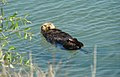 Nearshore sea otter (15085293440).jpg