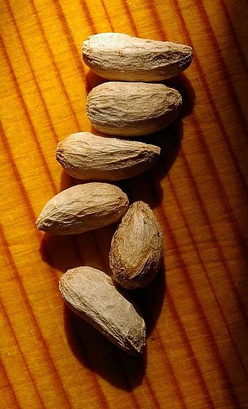 English: Neem tree (Azadirachta indica) seeds,...
