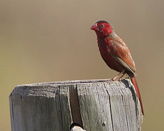 Crimson finch - Male at Middle Point, Northern Territory, Australia