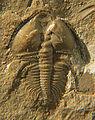 Nephrolenellus geniculatus left light CRF.jpg