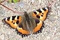 Neslesommerfugl (Nymphalis urticae) (4911345122).jpg