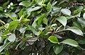 Netrider-Ficus microcarpa 2.jpg