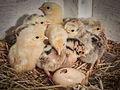 Newborn chickens.jpg