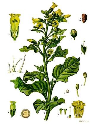 Nicotiana rustica - Image: Nicotiana rustica Köhler–s Medizinal Pflanzen 226