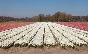 Noordwijkerhout, veld met tulpen aan de Oosterduinen IMG 9003 2021-04-27 13.04.jpg