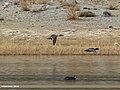Northern Pintail (Anas acuta), Eurasian Wigeon (Anas penelope) & Eurasian Coot (Fulica atra) (30810721930).jpg