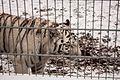 Nyíregyháza Zoo - White tiger-4.jpg