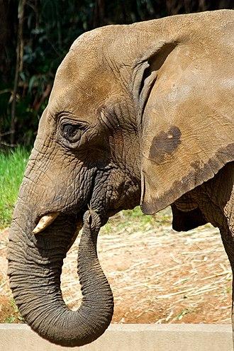 Oakland Zoo - Image: Oakland Zoo Elephant
