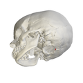 Occipital bone Opisthion12.png