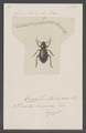 Ocnera - Print - Iconographia Zoologica - Special Collections University of Amsterdam - UBAINV0274 027 23 0010.tif