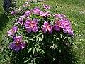 Odessa Botanic Garden Tree peony 01.jpg