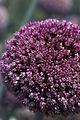 Oignons(fleurs) Cl J Weber02 (23309338679).jpg