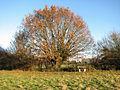 Old oak in Rosemary's Meadow - geograph.org.uk - 1614959.jpg