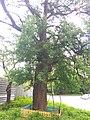 Old pear tree in Kyiv (May 2019) 4.jpg