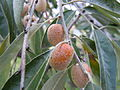 Oleaster fruits.jpg