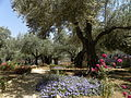 Olive trees in the traditional garden of Gethsemane (6409604069).jpg