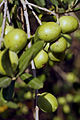 Olives (GROSSANE) CL2. J Weber (23158697812).jpg
