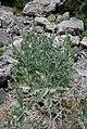 Onopordum acanthium (Asteraceae) (33062824380).jpg