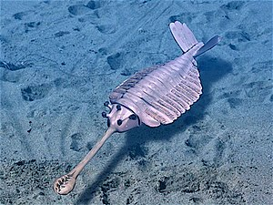 Cambrian explosion - Opabinia made the largest single contribution to modern interest in the Cambrian explosion.