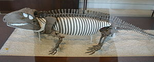 Ophiacodon - Skeleton of O. retroversus in the American Museum of Natural History, New York