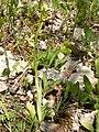 Ophrys sphegodes 22.jpg