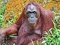 Orang Utan at Singapore Zoological Gardens - panoramio.jpg